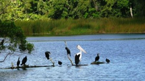 Lake Barrine: The Pelican with friends