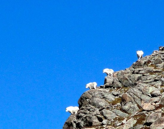 Mount Evans Scenic Byway : Mountain Goats