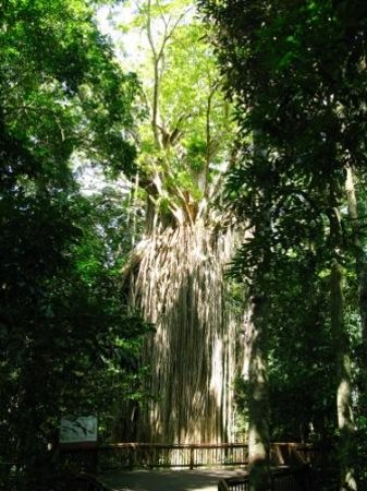 Curtain Fig National Park : The tree