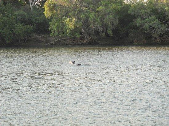 Zambezi River : hipos!
