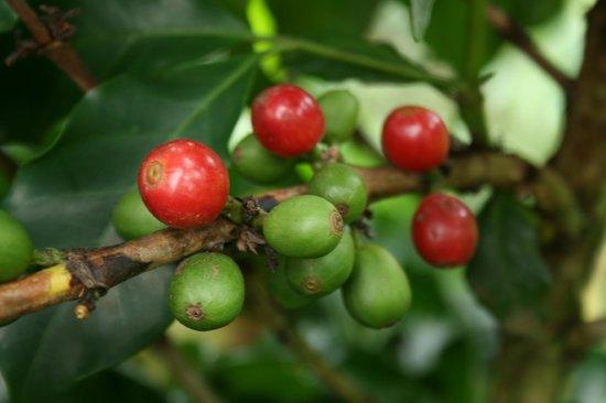 fruto de la planta de café picture of filadelfia coffee resort