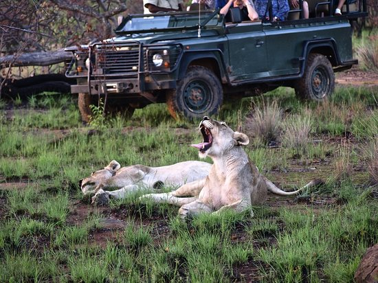Shibula Lodge & Bush Spa: Lioness