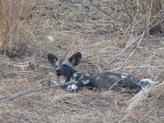 Inyati Game Lodge, Sabi Sand Reserve: wild dog puppy