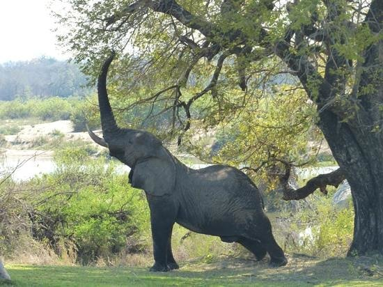 Inyati Game Lodge, Sabi Sand Reserve: this elephant rested on he Inyati lawn aff afternoon