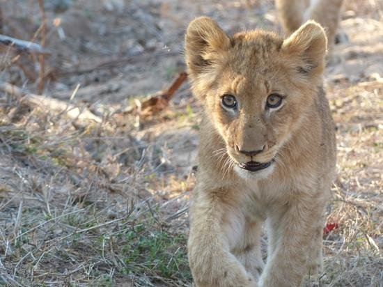 Inyati Game Lodge, Sabi Sand Reserve : cub on a mission!
