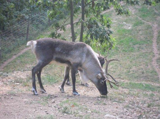 Parc Animalier de Casteil : les rennes