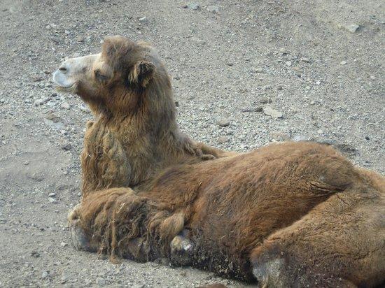 Parc Animalier de Casteil : Marcel, le chameau