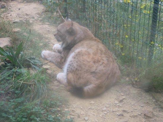 Parc Animalier de Casteil : les lynx