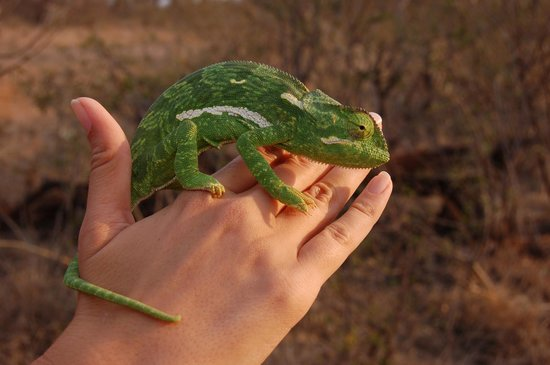 Lion Sands River Lodge: the only animal we got to handle on the trip, a chameleon!