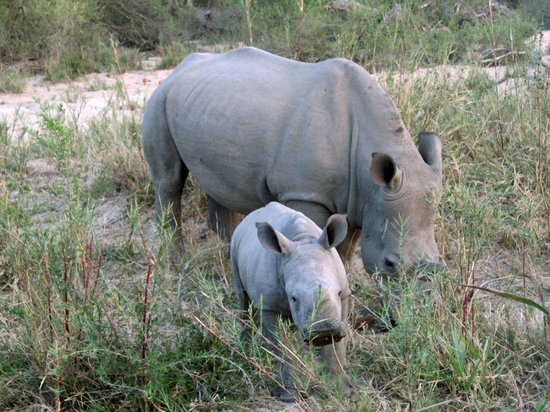 Lion Sands River Lodge: one of many mother rhinos with their calves we saw