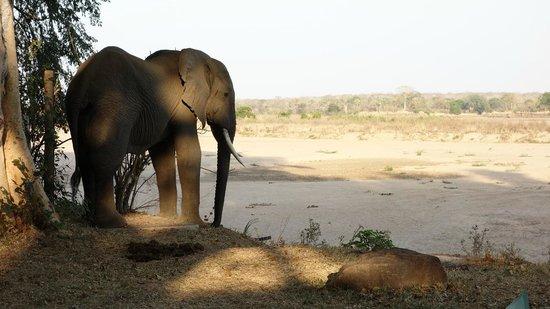 Lugenda Bush Camp : Ben the elephant