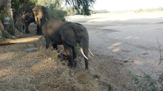 Lugenda Bush Camp : Elephants walking down a stairway