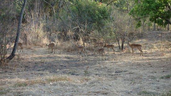 Lugenda Bush Camp : Impalas