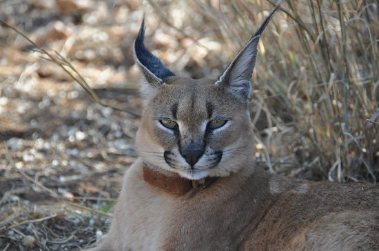 N/a'an ku se Lodge and Wildlife Sanctuary: caracal, paseo matutino por el bush