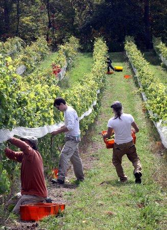 Damiani Wine Cellars: Harvest at Davis Vineyard