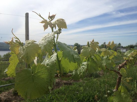 Damiani Wine Cellars: New Vines
