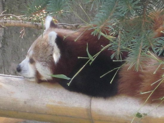 Siracusa, Estado de Nueva York: red panda