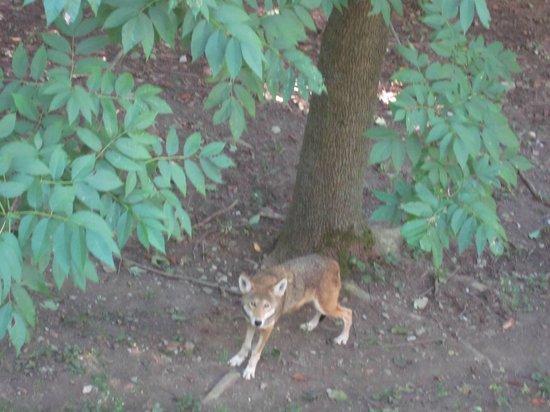 Syracuse, NY: red wolf