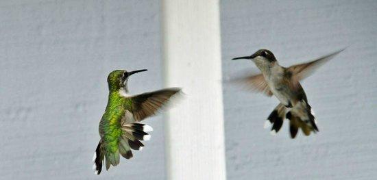Grand Rivers Inn: Humming Birds
