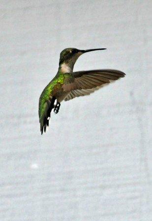 Grand Rivers Inn: Humming Bird