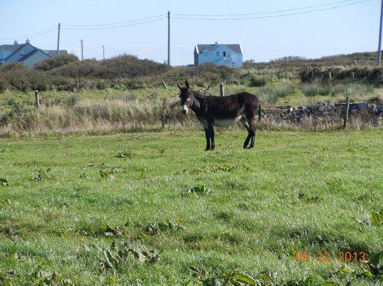 Doonagore Farmhouse: Resident donkey