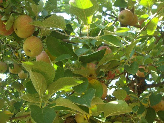 Butler's Orchard: Apples!
