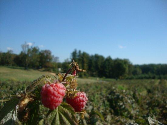 Butler's Orchard: Raspberries!