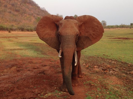 Bumi Hills Safari Lodge & Spa: Elephant up close