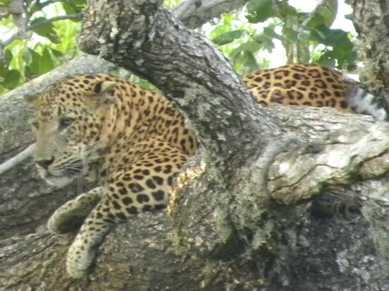 Knuckles Mountain Range : leopard