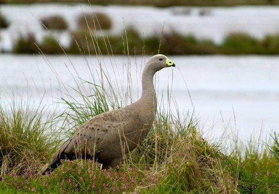 Cape Barren goose at Fisher's wetland