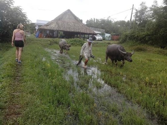 HCM Cooking Class: Working with Buffalo to make rice fields in HCM Cooking school
