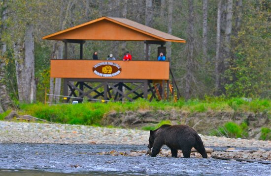 Tweedsmuir Park Lodge & Bear Viewing: Grizzly eating a fish in front of the viewing stand