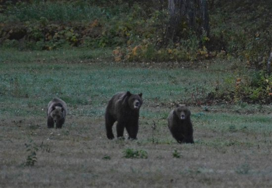 Tweedsmuir Park Lodge: Grizzly mom playing with cubs in front of the cabins