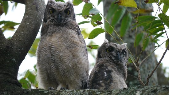 Chase Guest House: Baby owls in the front tree