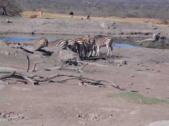 Mosetlha Bush Camp & Eco Lodge : zebra