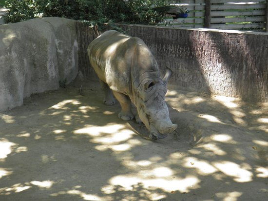 Zoo Barcelona hornless rhino at the zoo picture of barcelona zoo barcelona