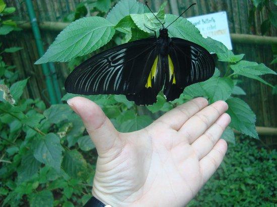 Butterfly Sanctuary at Mambukal Resort : look at its wingspan