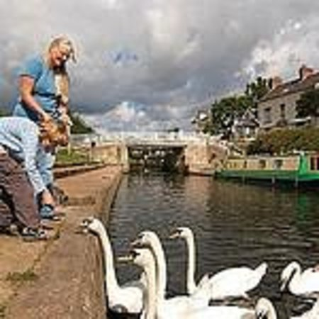 Sawley, UK: Feeding the swans at Trent Lock