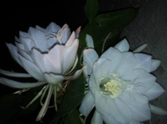 Blue Heron Inn: Night Blooming flowers
