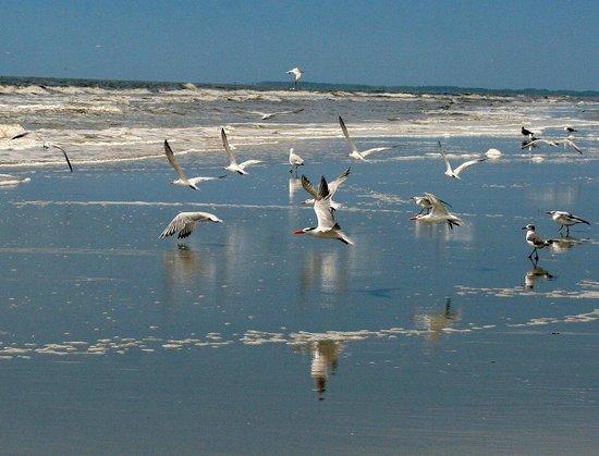 Blue Heron Inn: Birds on Sapelo Beach
