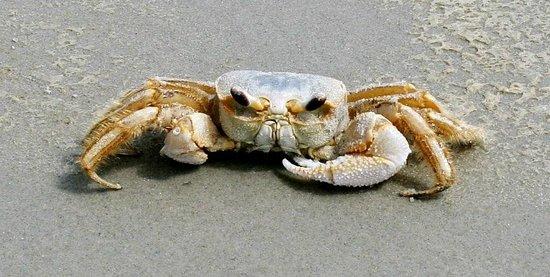 Blue Heron Inn: Ghost Crab