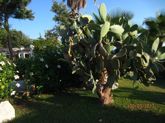 Club Calimera Kaya Side: кактус