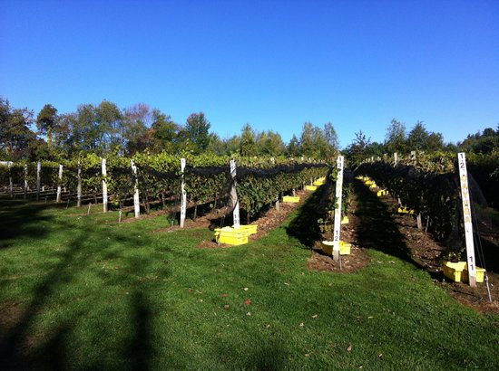 Taylor Brooke Winery: The Vines are Ready