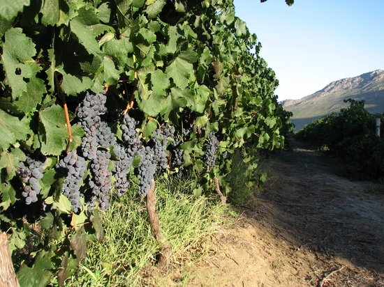 Slanghoek Mountain Resort: grape farming