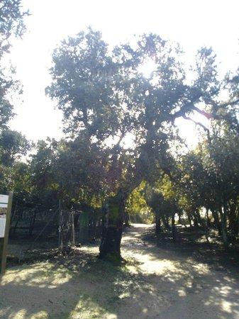 Parco Ente Foreste di Assai: grande albero