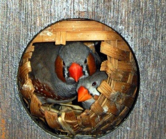 Yvoire, ฝรั่งเศส: Couples d'oiseaux mandarins dans leurs nids...