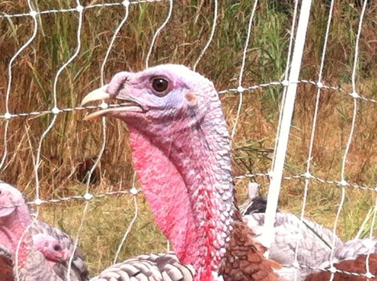 Georgia Food Tours: Turkey at Darby Farms