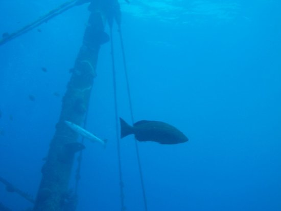 Blue Water Divers & Watersports Ltd : Huge grouper and barracuda crossing the mast
