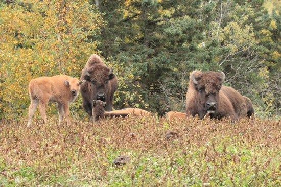 Ferme 5 Etoiles : bisons