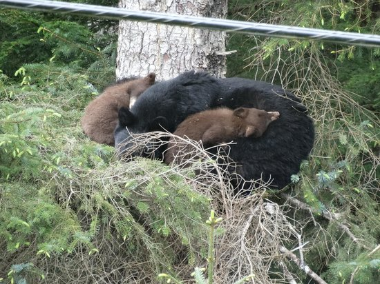 BEST WESTERN Grandma's Feather Bed: Bear family-in a tree- on the way to Eagle Beach